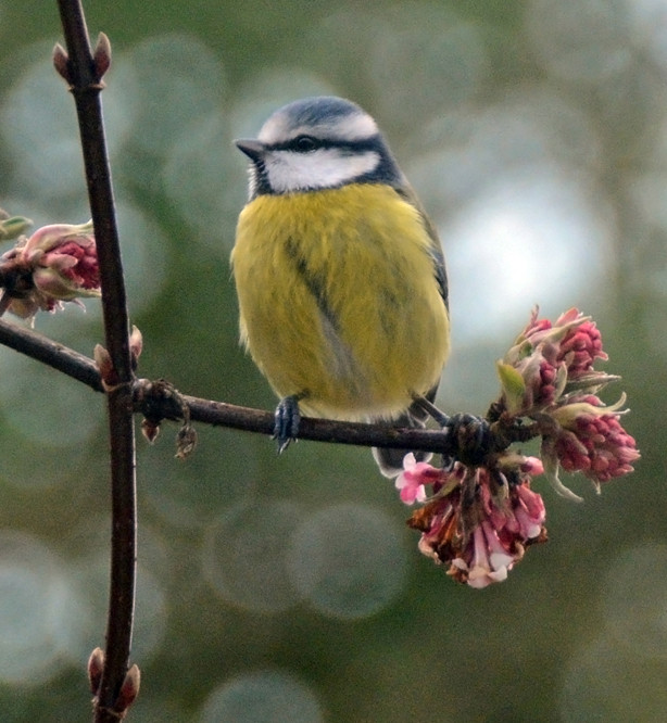 The Re-Blip: Blue Tit and Viburnam Bodnantensii. Cropped way down and through double glazing. Waiting for its go on the feeder.