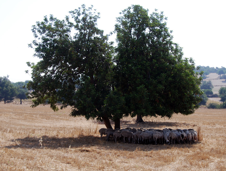 Carob and sheltering sheep ay 40C in June 2012