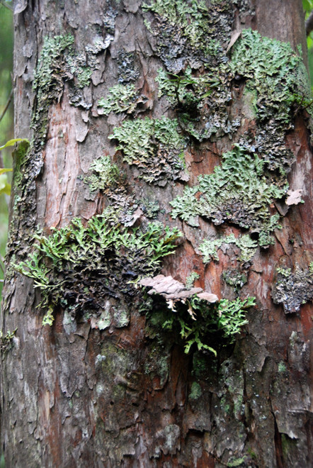 Thin Bark Totara and lichens on Ulva Island (part of the Stewart/Rakiura Islands). The totara are much attacked by the bark-stripping, sap drinking forest parrots (Kaka).