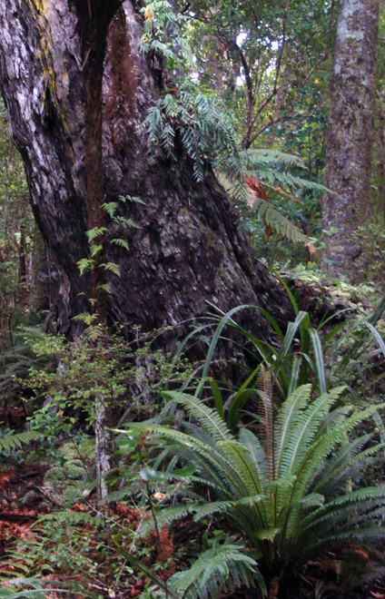 Three epiphytic ferns are on this giant Rimu trunk with two other ferns in foreground - Ulva Island.