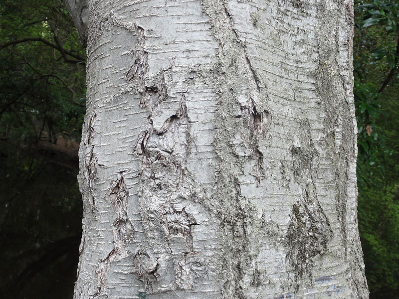 Silver Beech bark (Courtesy Andy king50 WikiCo