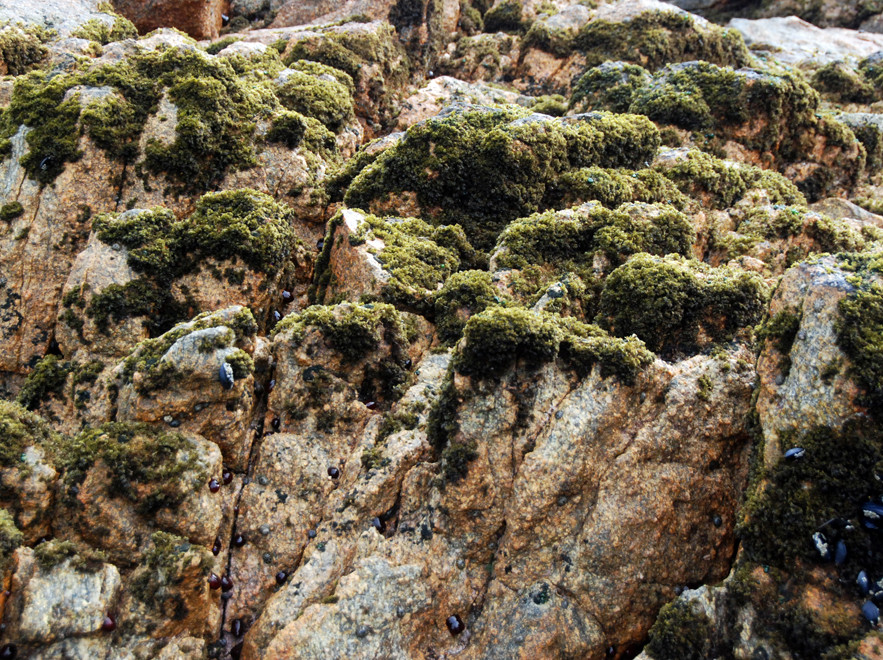 Granite rocks with covering of Red Moss Seaweed  (Bostrychia arbuscula) Boulder Beach, Ulva Island,
