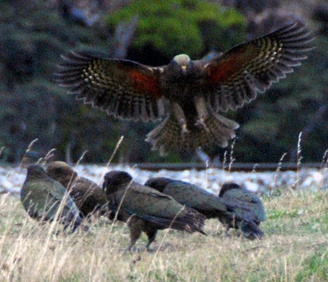A group of squabbling juvenile Kea near the Authur's Pass entrance to the Otira Tunnel. Note the scarlet underwind of the bird landing.
