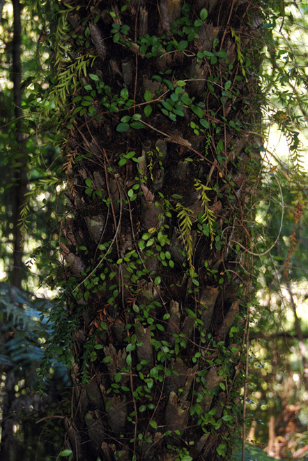 Possibly Maidenhair vine/pohuehue -  Muehlenbeckia complexa - and an epiphyte (Tmesipteris tannenis - Hanging fork fern)growing from a tree fern stem on the Hydro Walk, Golden Bay.