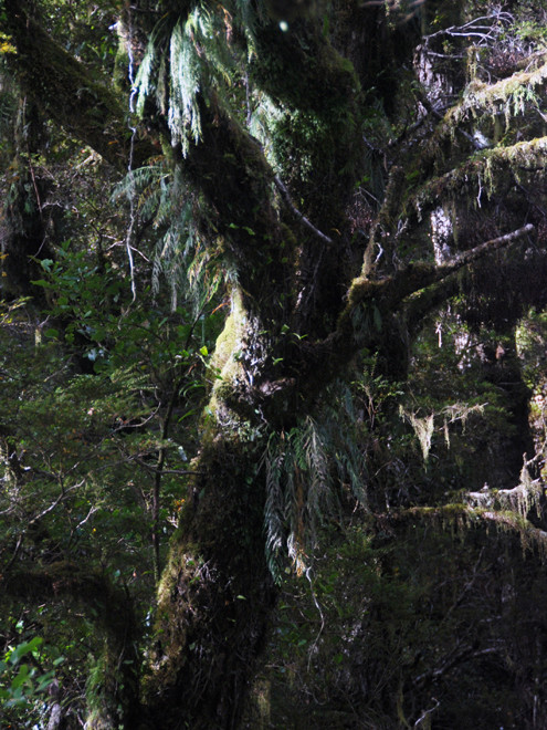 Lichen, epiphyte and moss-festooned beech on the Milford Road