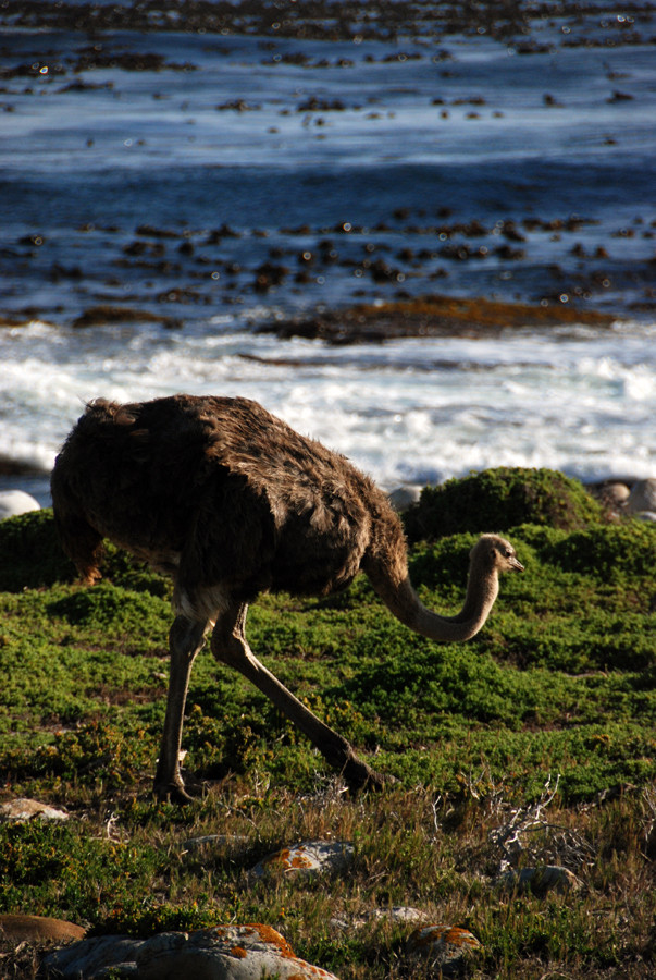 Female Ostrich foraging in wind-stunted fynbos near the Cape of Good Hope