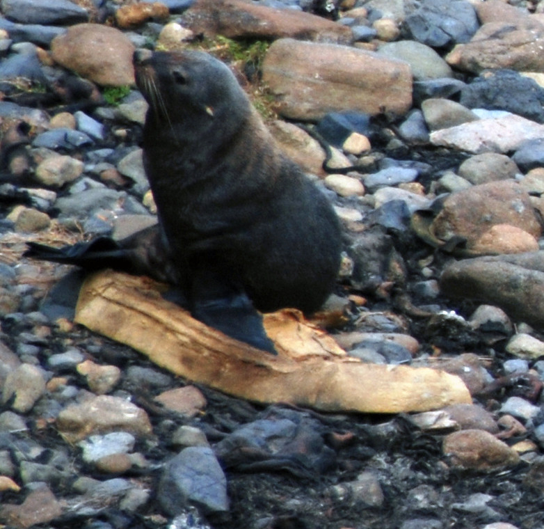 A foam mattress for this female seal at Sand Fly Bay