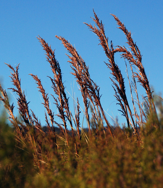 Gahnia rigida seedheads at the Mangarakau Swamp. This rigid upright sedge can grow to three metres.