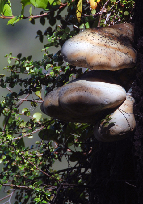 Bracket fungus on a Mountain Beech on the Hydro Walk, Golden Bay.