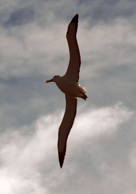 A toroa or Northern Royal Albatross (diomedia sanfordi) soaring past the observation point at Taiaroa Head on the Otago Peninsula