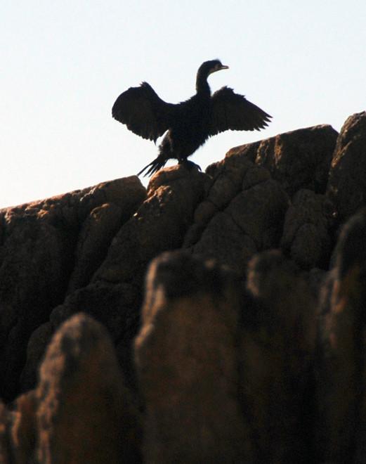 Little Shag (Phalacrocorax melanoleucos) - kawaupaka - drying its wings - Taupo Head walk, Golden Bay