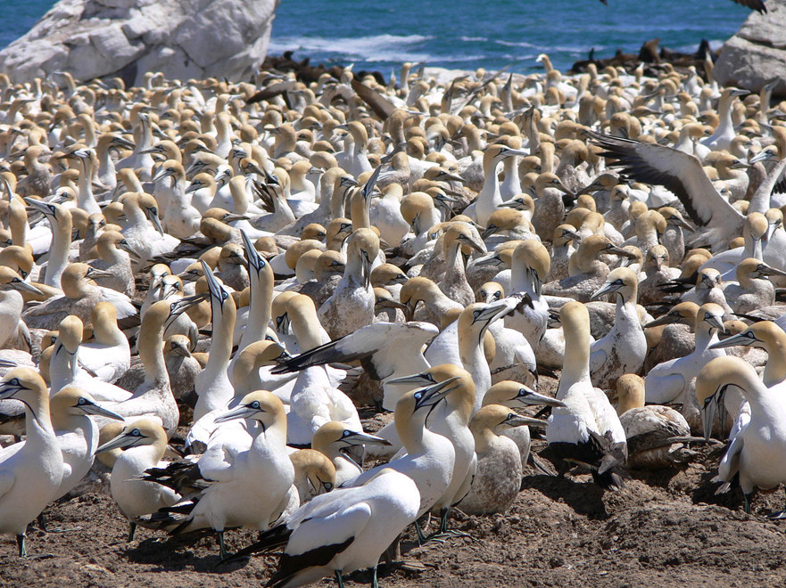Cape Gannet colony at Bird Island, Lamberts Island, Western Cape (c) Winfried Bruenken @ Wikimedia