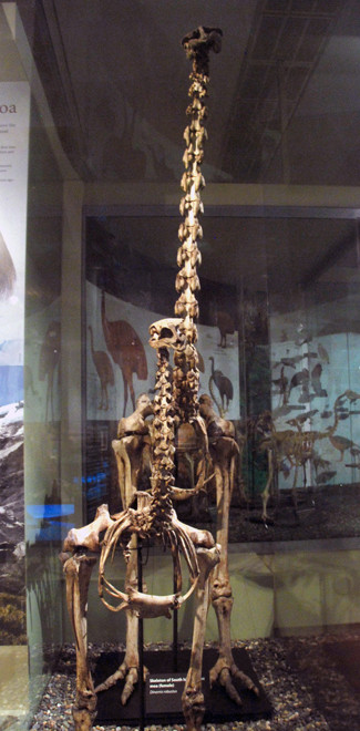 Female skeleton of Giant Moa (Dinornis robustus) (with smalller skeleton in front) Otago Museum, Dunedin.