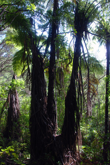 Tree ferns (probably Mamamuka/Black Tree Ferns)  dominate the lower forest on the Wainui Falls walk.