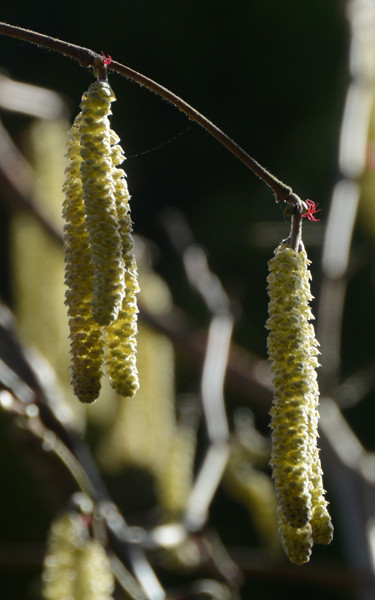 What to look for in spring: the tiny flames of the female hazel flower.