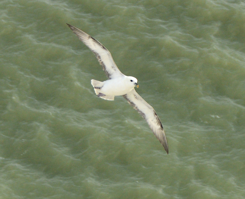 Fulmar returning to its chalk cliff nesting site at the South Foreland.