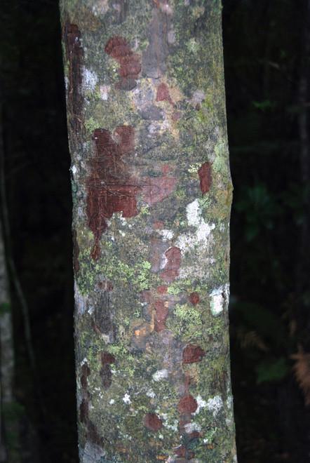 Miro trunk and bark (Prumnopitys ferruginea) growing on Ulva Island (part of the Stewart/Rakiura Islands)