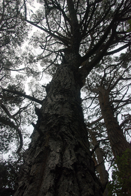 Giant introduced pines behind the Old Post Office, Ulva, Stewart Island.