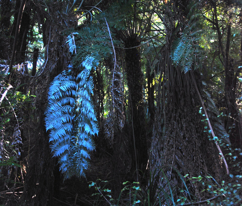 Silver fern/ponga - Cyathea dealbata - growing in a very shaded location on the north side of the Campbell VAlley on the Hydro Walk. National symbol of New Zealand the upturned fronds were cut to mark
