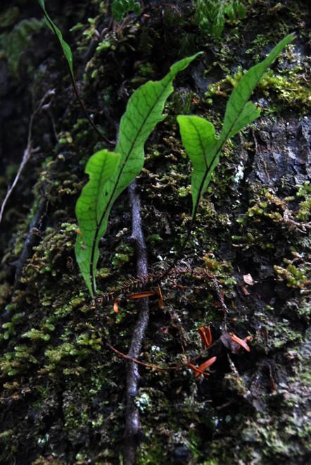 Hound's Tongue Fern (an epiphytic fern - Microsorum pustulatum) on Ulva Island