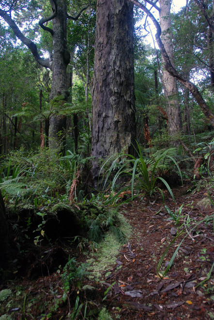 A unique and majestic podocarp forest of Rimu, Halls Totara and Miro where no native felling ever occurred (Ulva Island)