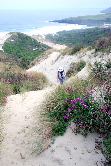Towards the top of the steep and energy-sapping sand climb from Sandfly Beach on the Otago Peninsula. Purple groundsel (Senecio elegans L.) in foreground