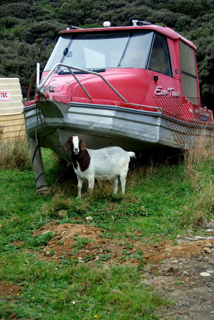 Old Stewart Island water taxi and tethered goat, Stewart Island.