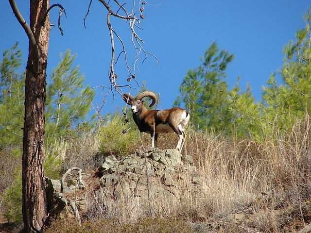 The endemic Cyprus Mouflon (Ovis orientalis ophion) - Agrino (c) Smichael21 at WikimediaCommons
