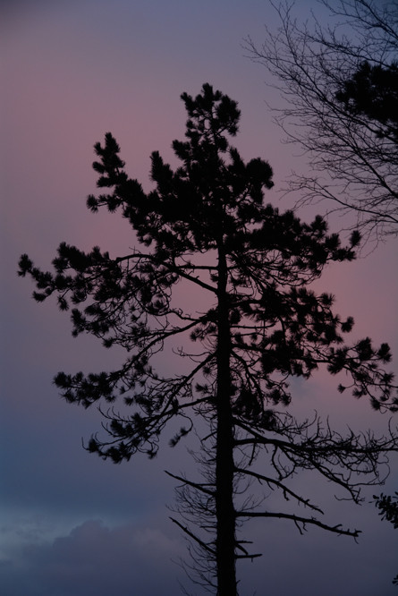 A maritime pine against the evening sky: it is more straggly and lacks the lustrous red bark of the Scots Pine. A native of the Central and Western Mediterranean it grows best in close packed plantations.