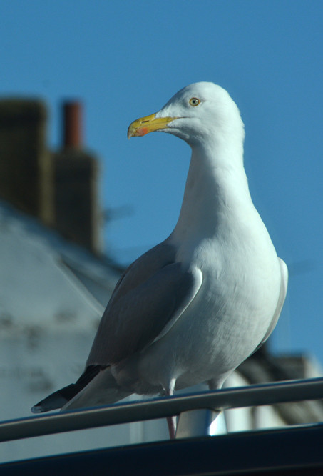 Shopping done. Queuing to get out of Sainsbury's car park, Deal at 11.28. Herring Gull in all its magnificent watchfulness.