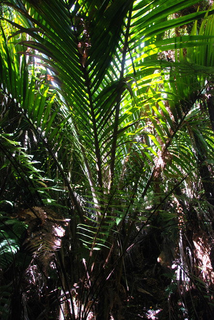 Young Nikau Palm on the Wainui Falls walk in Golden Bay.