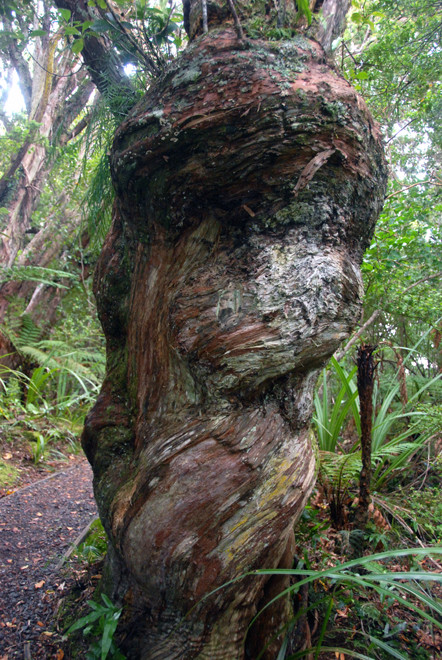 The twisted bole of a Thin Bark Totara on Ulva Island - perhaps caused by a strangling vine wrapping itself around the trunk in early growth.