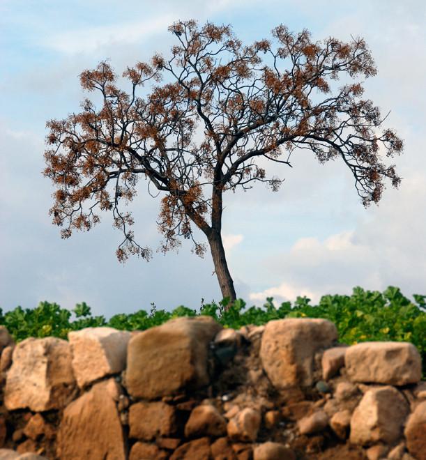 Mavromata tree (Melia azedarach) at Aphrodite's Sanctuary (Kouklia, January 213).