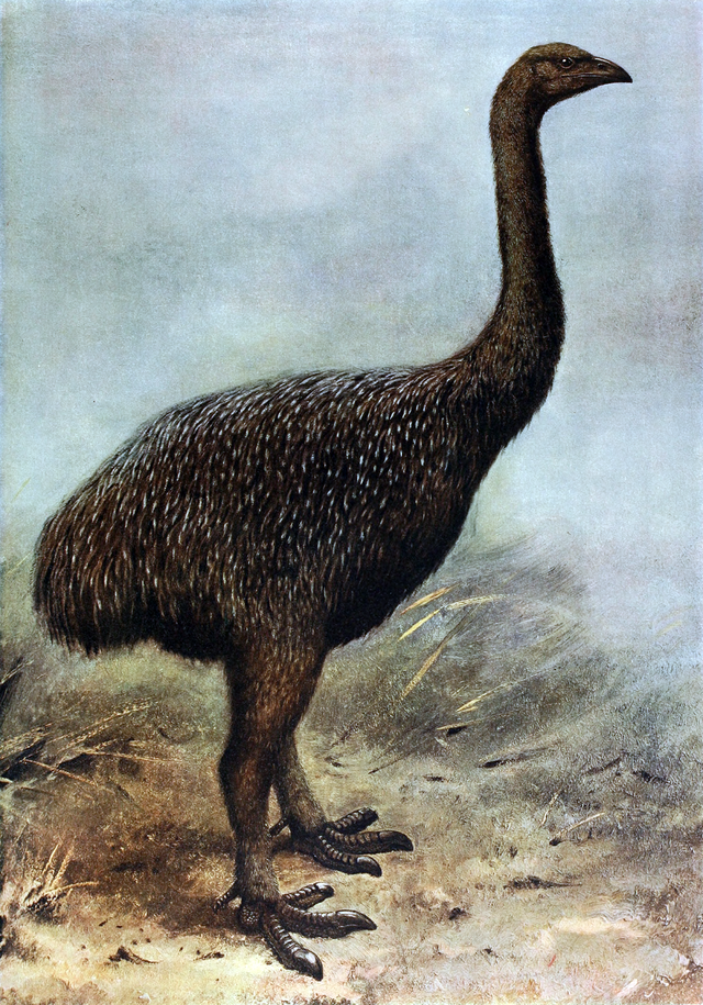 Reconstruction of Upland Moa by George Edward Lodge in 1907.