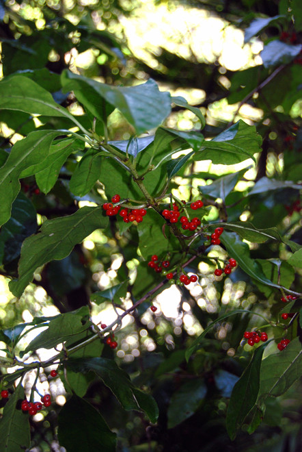 Karamu - Coprosma robusta