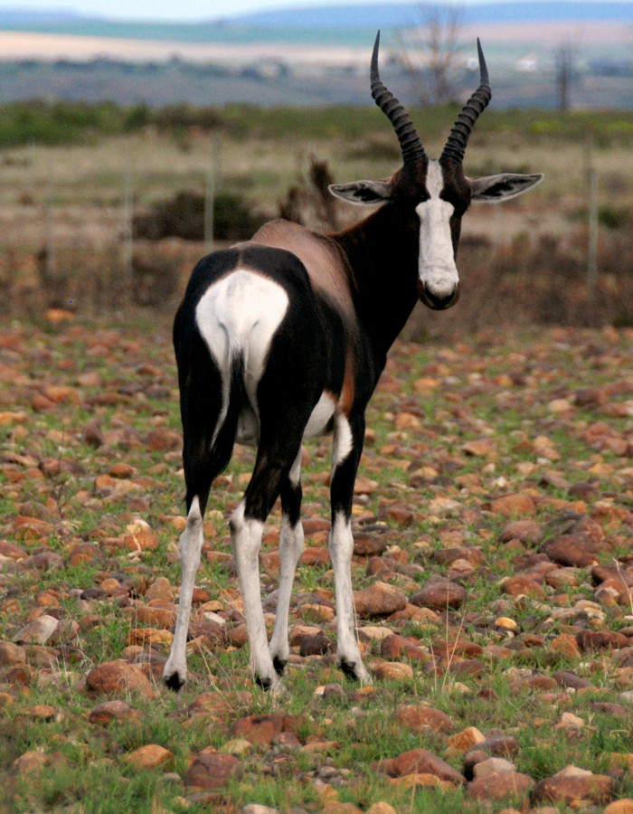 Bontebok at the Bontebok National Park, Western Cape