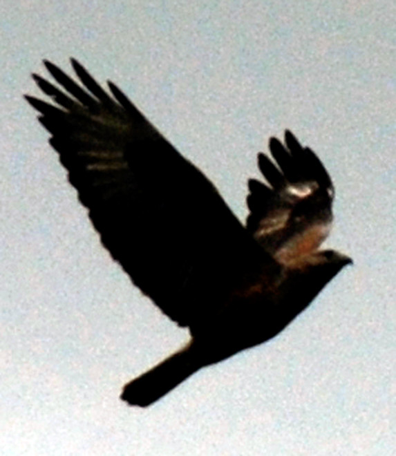 A big raptor - Long-legged Buzzard? at the Oreites Forest (January 2013).