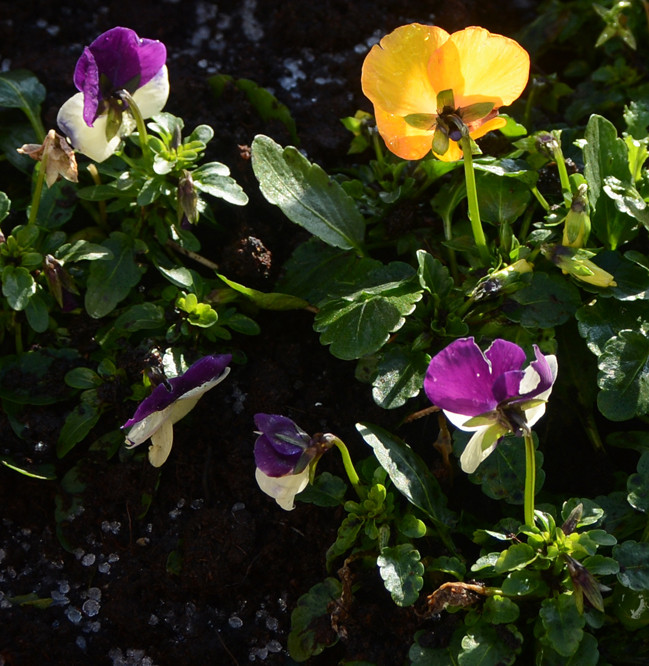Tough violas catching the brilliant sun. Local blackbird is determinedly pulling all the compost from the pot but they endure.