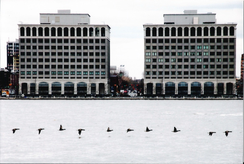Jersey City and geese