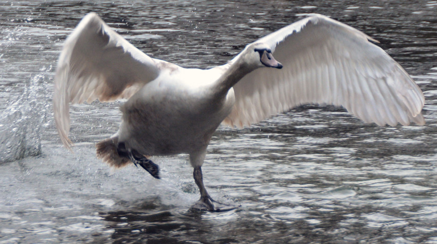 Juvenile mute swan landing on one of the Kearsney lakes, above Dover.