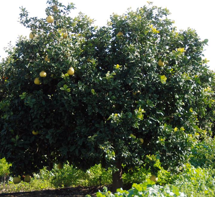 Grapefruit growing below Peristerona in January