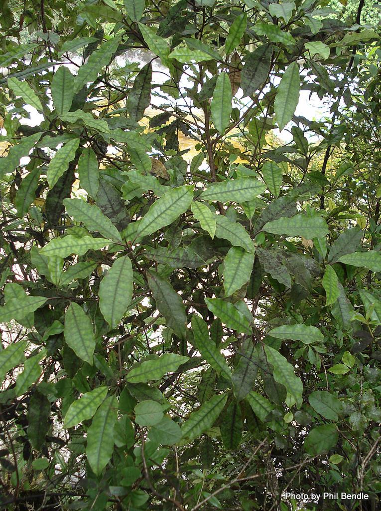 Quintinia serrata (Tawheowheo) (Terrain)