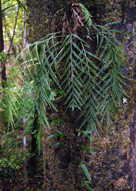 Epiphytic fern (Asplenium flaccidum) and Hound's Tongue (Microsorum pustulatum) on Ulva Island