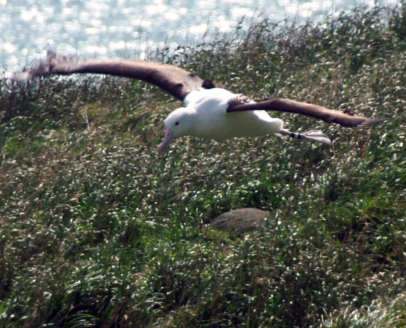 Taiaroa Head albatross coming in to land