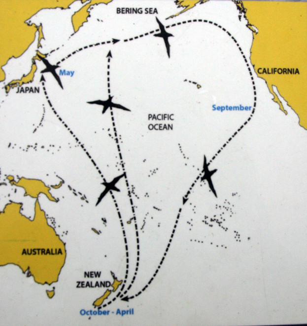 The trans-Equatorial Pacific joureny of New Zealand's 20 million Sooty Shearwaters