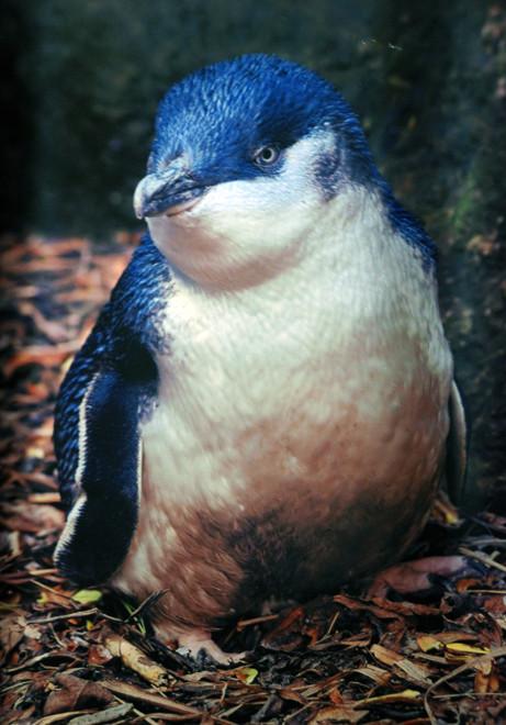 The diminutive Blue Penguin (courtesy of the Royal Albatross Centre, Otago Peninsula)