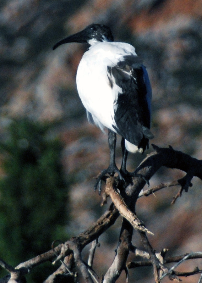 African Sacred Ibis on a roosting tree at Montagu