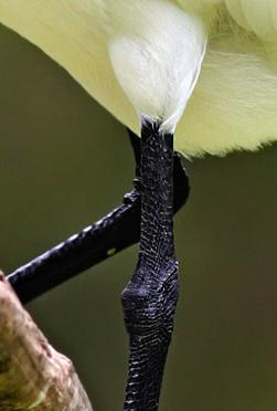 Close-up of the Royal Spoonbill's legs (Courtesy of Fir0002/Flagstaffotos)