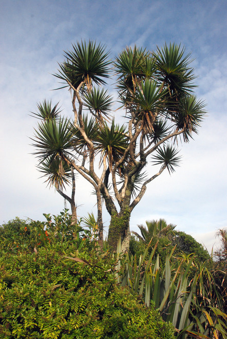 Beautifully arrange ti kouka/cabbage tree (Cordyline australis) at Pancake Rocks, West Coast.