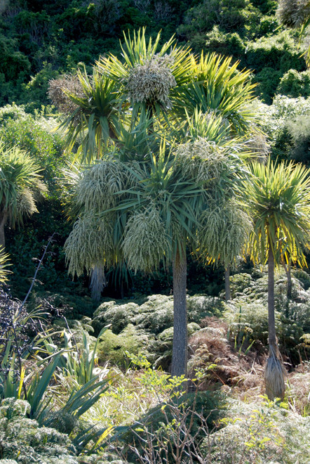 Tī kōuka/cabbage tree (Cordyline australis) in magnifcent bloom on the Okia Flats, Otago Peninsula.
